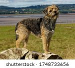 Border Terrier. Dog  Blue And...