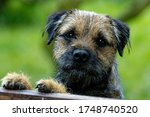 Border Terrier. Young Dog ...