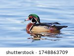 Wood Duck Male Swimming On...