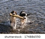 Stock photo a pair of springer spaniels fetching the same stick from the ocean 174886550