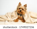 Yorkshire Terrier With Blanket...