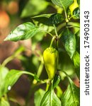 organic peppers growing in the... | Shutterstock . vector #174903143