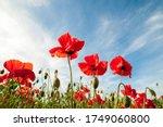 Field Of Poppies  Poppy Flowers ...