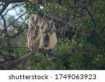 Two Young Long Eared Owls With...