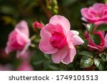A Pink Rose Close Up Photo