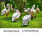 A Flock Of Large White Pelican...