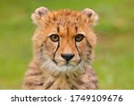 Small photo of Cheetah, portrait of cute young babe. Close-up detail of fur coat cub. Fastest mammal on the land, Kgalagadi, Botswana. Wildlife scene from African nature. Beautiful fur coat animal, Africa