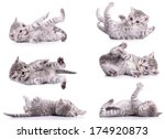 Stock photo six gray tabby scottish kittens lies on their back and played animal isolated on white background 174920873