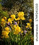 Yellow And Purple Iris Flowers...