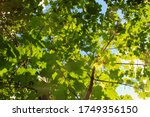 Sunny Green Large Maple Leaves