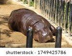 A Pygmy Hippopotamus Sleeping...
