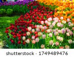 Colorful Tulip Flowers Meadow...