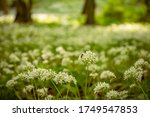 Ramsons  Wild Garlic  In A...