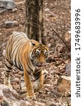 Small photo of Royal bengal tiger head on walking in jungle safari. Wildlife scene with danger animal in Hot summer . wild tiger or Panthera tigris at Ranthambore National Park or tiger reserve Rajasthan India