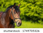 Horse Brown Head Portraits Wit...