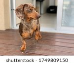 Lomu The Daschund Dog Is The...