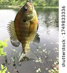Freshwater Bluegill fish caught on small hook next to pond, about adult Bluegill size
