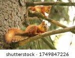 Two Squirrels. Sciurus. Rodent...