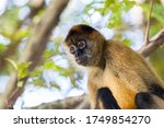 A Spider Monkey In The Tree...