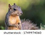 Fox Squirrel In Dallas  Texas
