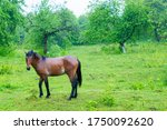 Wild Horse On A Large Meadow...