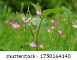 White Flower Of Carolina...