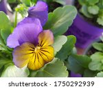 Pansy Flower Popular Also  As ...