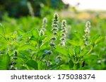 lemon basil flowers. | Shutterstock . vector #175038374
