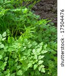 natural herbs growing up in a... | Shutterstock . vector #17504476