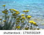 Immortelle Blooming Plant Also...
