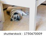 A Cute Beige Pug Lying On The...