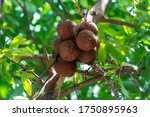 Cannon Ball Tree Or Shorea...