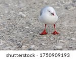 A White Seagull Is Finding The...