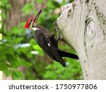 The Magnificent Pileated...