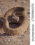 Coiled Rattlesnake Closeup In...