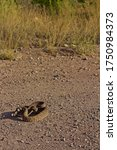 Coiled Rattlesnake Closeup With ...