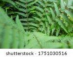 Pteridium Aquilinum Or Bracken...