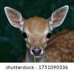 Fallow Deer  Dama Dama  Fawn In ...