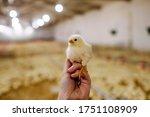 Human Holding A Little Chicken...