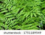Perennial Herbaceous Fern  ...
