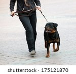 Stock photo rottweiler and master walk with a leash 175121870