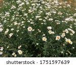 Oxeye Daisy Flowers Full Frame