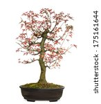 Small photo of Trident Maple bonsai tree, Acer buergerianum, isolated on white