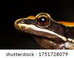 Fungoid Frog Side Portrait