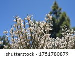 White Flowering Gorse  Blue...