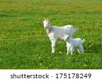 Goat With Kid