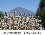 White Flowering Gorse In The...