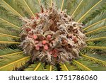 Sago Palm Flowering And Orange...