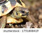 Small photo of Hermann's tortoise (Testudo hermanni) is a species in the genus Testudo.