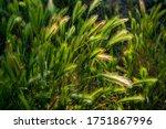 Wild Green Grass With Seeds...